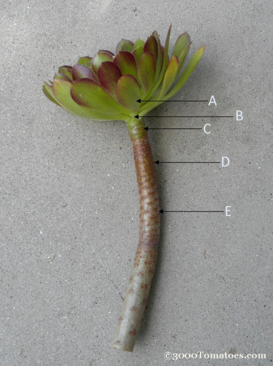 Succulent-propagation-edited-with-copyright-e1330807545382.jpg - 112kB