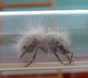 thistledown ant.jpg - 14kB